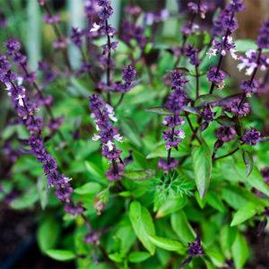 Mauste- ja rohdoskasvit